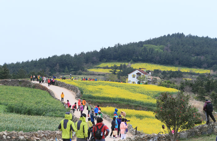 "The ""slow walk festival"" is held on Cheongsando Island every April when canola flowers are in full bloom alongside green barley. (photo courtesy of Wando County)"