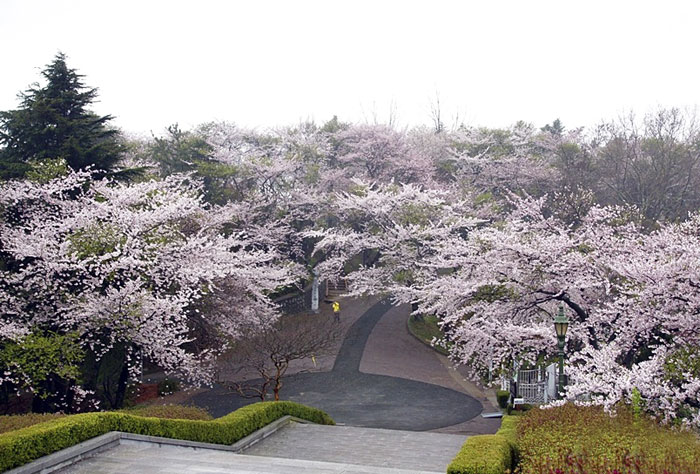 The cherry blossoms are out in Wolpyeong Park, part of the Gubul-gil Pathways in Gunsan City, North Jeolla Province. (photo courtesy of the Korean Trails Culture Foundation)