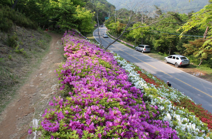 Royal azaleas welcome visitors to the Mudol-gil Pathway, near Mudeungsan Mountain in Hwasun, South Jeolla Province. (photo courtesy of the Korean Trails Culture Foundation)